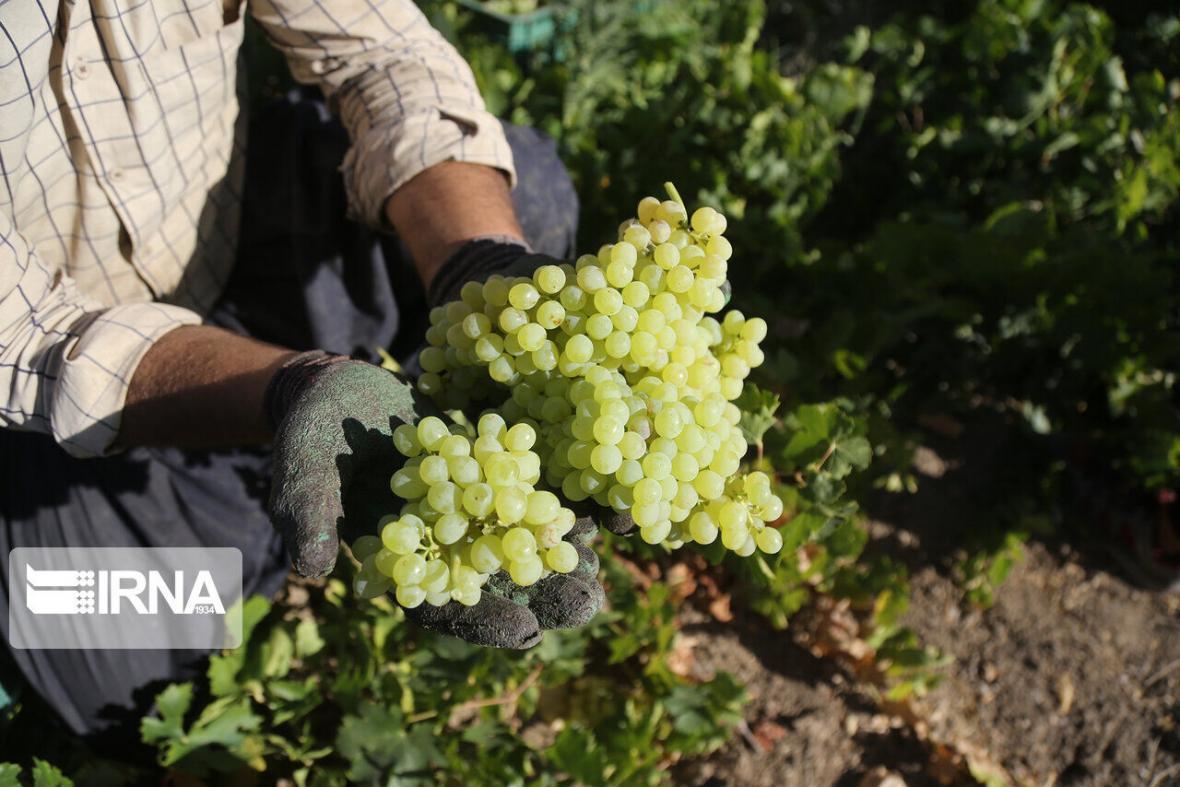خبرنگاران مکمل های غذایی از عصاره انگور؛ ایده برتر در رویداد استارتاپی ملایر