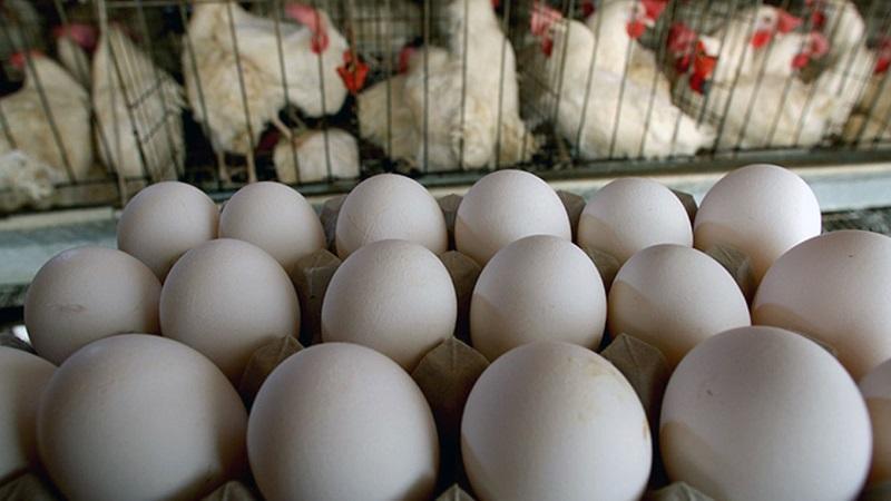 تخم مرغ گران شد، افراد خاص 70 درصد نهاده کشور را وارد می نمایند
